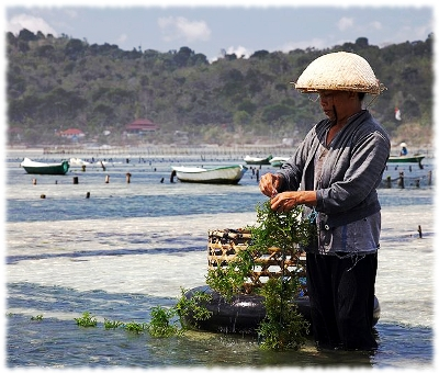 Picture of a woman in Bali, Indonesia harvesting seaweed in the water.